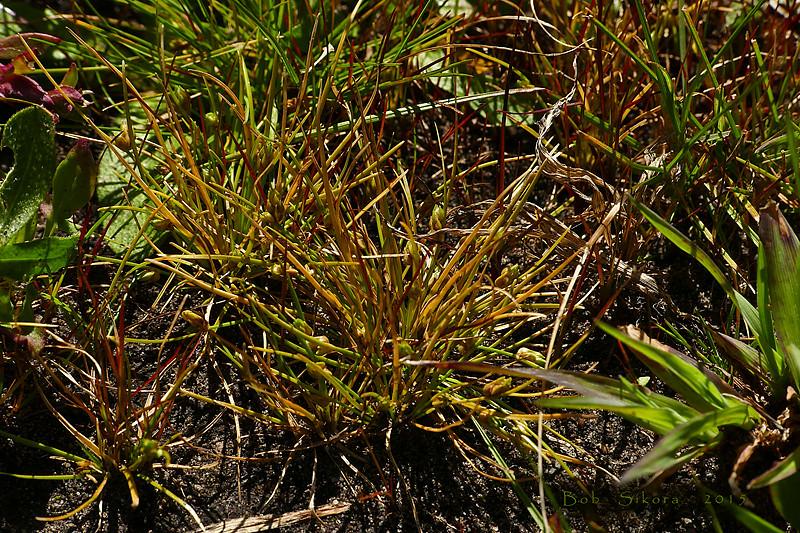 <em>Isolepis carinata</em>, Keeled Sedge, native.  <em>Cyperaceae</em> (Sedge family). Bull Point, Point Reyes National Seashore, Marin Co., CA, 2015/04/16