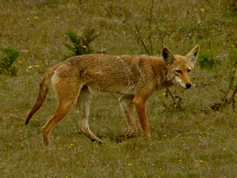 Coyote, <em>Canis latrans</em> Estero Trail, Point Reyes National Seashore, Marin Co., CA, 2013/07/26