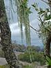<em>Ramalina menziesii</em>  (Lichen) Olompali State Park, Marin Co., CA, 2014/02/15