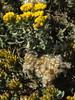 <em>Isocoma menziesii</em> ssp.<em> menziesii</em>, Coastal Goldenbush,  native.  <em>Asteraceae</em> (= <em>Compositae</em>, Sunflower family).  Point Piedras Blancas, San Luis Obispo Co., CA  9/26/09  jm2p360