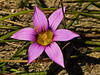 <em>Romulea rosea</em> var. <em>australis</em>, Rosy Sandcrocus, s. Africa.  <em>Iridaceae</em> (Iris family). Fire Lane Trail, Point Reyes National Seashore, Marin Co., CA  2012/3/9 jm2p1360