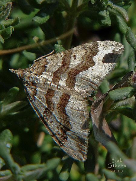 <em>Perizoma epictata</em>, Lepidoptera, (moth) Noctuidae. Millerton Point, Tomales Bay State Park, Marin Co., CA, 2013/06/22