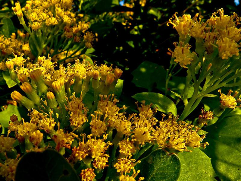 <em>Delairea odorata (Senecio mikanioides)</em>, Cape or German Ivy, S. Africa.   <em>Asteraceae</em> (= <em>Compositae</em>, Sunflower family).  San Leandro Channel (n. side), Alameda, Alameda Co., CA  12/9/2011  jm2p300 Highly invasive and environmentally destructive.