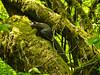 Western Gray Squirrel, <em> Sciurus griseus</em> Cowell Redwoods State Park, Santa Cruz Co., CA  4/13/09 &#9664 Grossulariaceae ----- Hydrangeaceae &#9658