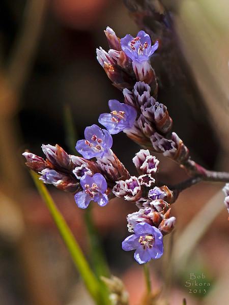 <em>Limonium californicum</em>, California Sealavender, native.  <em>Plumbaginaceae (Leadwort family). Corte Madera Creek, Kentfield, Marin Co., CA, 2013/07/09, jm2p1035