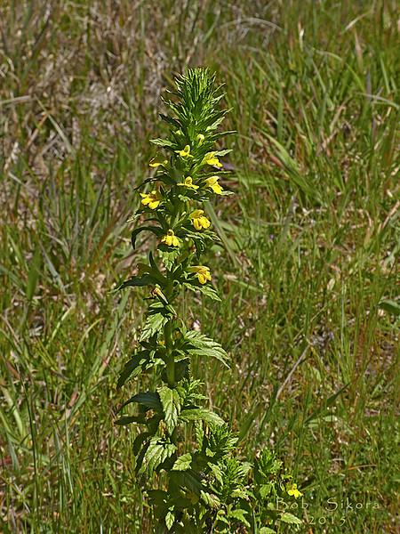 <em>Parentucellia viscosa</em>, Yellow Parentucellia, Europe.  <em>Orobanchaceae</em> (Broomrape family). Point Reyes National Seashore, Marin Co., CA, 2015/04/16