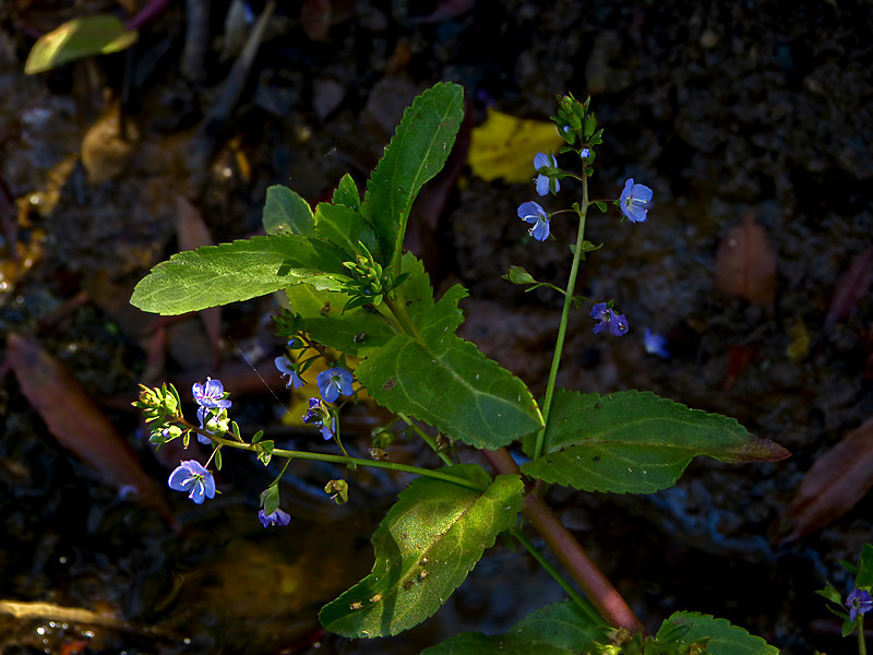 <em>Veronica americana</em>, American Brooklime or Speedwell, native.  <em>Plantaginaceae</em> (Plantain family). Coastal Trail, Golden Gate National Recreation Area, Marin Co., CA  2012/06/01  jm2p1032
