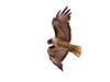 Red-tailed Hawk, <em>Buteo jamaiciencis</em>, juvenile. San Francisco, CA  2011/7/13 &#9664 Lamiaceae ----- Linaceae &#9658