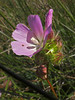<em>Sidalcea calycosa ssp. rhizomata</em>, Point Reyes checkerbloom, native, rare.  <em>Malvaceae</em> (Mallow family). Abbotts Lagoon, Point Reyes National Seashore, Marin Co., CA  2011/08/29  jm2p891