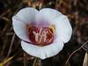<em>Calochortus argillosus</em>, Clay Mariposa Lily, native.  <em>Liliaceae</em> (Lily family). Edgewood County Park, San Mateo Co., CA, 01/06/2014, jm2p1380