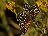 "Mormon Metalmark, <em>Apodemia mormo mormo</em>.  To see the Antioch Dunes Metalmark click <a href=""http://bobsikora.smugmug.com/Photography/Antioch-Dunes/14233337_BZJsy#1052573259_Miho5"">here</a>. Camp Miguel, Silver Peak Wilderness, Los Padres NF, Monterey Co., CA  9/26/09"