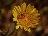 <em>Grindelia camporum</em>, Gumplant, native.  <em>Asteraceae</em> (= <em>Compositae</em>, Sunflower family).  jm2p336 <em>Halictus tripartitus</em>, Sweat Bee Edgewood County Park, San Mateo Co., CA, 2014/06/01