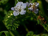 <em>Phacelia distans</em>, Fern-leaf Phacelia, native.  <em>Boraginaceae</em> (Borage family), [ex <em>Hydrophyllaceae</em>]. Keyhoe Beach, Point Reyes National Seashore, Marin Co., CA 2011/12/21 jm2p493