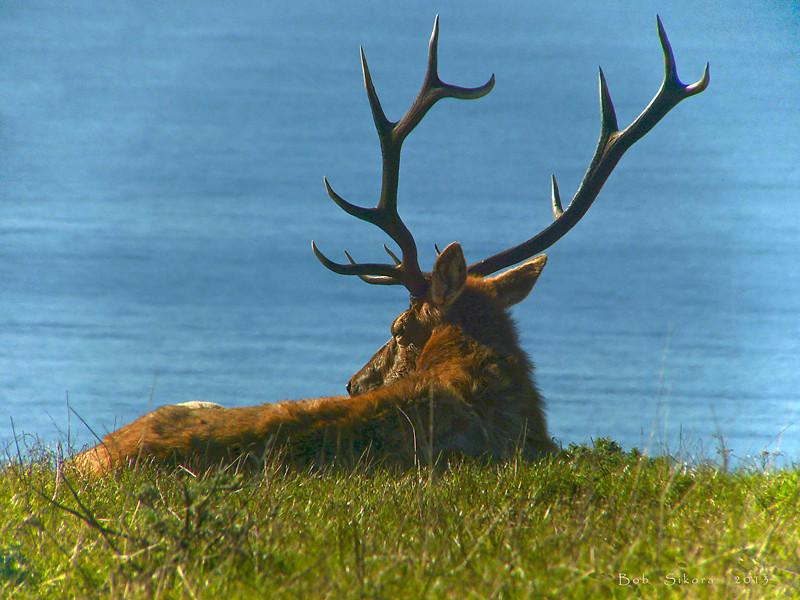 Tule Elk, <em>Cervus elaphus nannodes</em> Tomales Point, Point Reyes National Seashore, Marin County, CA  2012/11/23