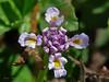 <em>Phyla nodiflora</em>, Lippia, (questionably) native.  <em>Verbenaceae</em> (Vervain family). Corte Madera Creek, Kentfield, Marin Co., CA, 2013/07/09, jm2p1266