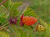 <em>Rubus spectabilis</em>, Salmonberry, native. <em>Rosaceae</em> (Rose family). Bull Point Trail, Point Reyes National Seashore, Marin Co., CA,  2013/07/26  jm2p1204