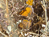 Gorgon Copper, <em>Lycaena gorgon</em>, m. & f. Silver Peak Wilderness, Santa Lucia Mtns. Monterey Co., CA  6/16/09