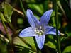 <em>Campanula californica</em>, Swamp Harebell, native.  <em>Campanulaceae<em/> (Bellflower family). Bull Point Trail, Point Reyes National Seashore, Marin Co., CA, 2013/07/07, jm2p589