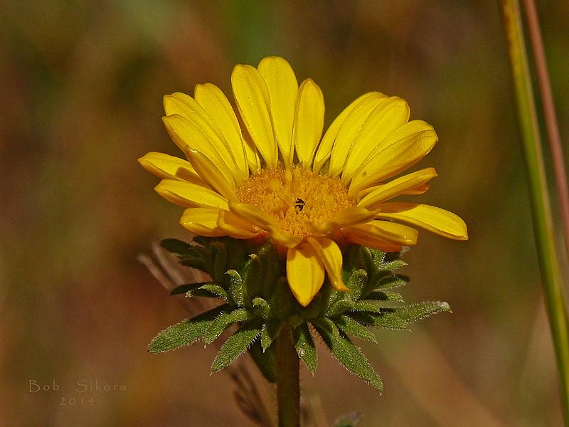 <em>Grindelia camporum</em>, Gumplant, native.  <em>Asteraceae</em> (= <em>Compositae</em>, Sunflower family).  Edgewood County Park, San Mateo Co., CA, 2014/06/01, jm2p336