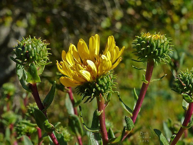 <em>Grindelia stricta var. angustifolia</em>, Marsh Gum Plant, native.  <em>Asteraceae</em> (= <em>Compositae</em>, Sunflower family). Millerton Point, Tomales Bay State Park, Marin Co., CA, 2013/06/22, gm2p337