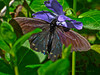 Pipevine Swallowtail, <em>Battus philenor</em> <em>Vinca major</em>, Periwinkle, Europe?  <em>Apocynaceae>/em> (Dogbane, Milkweed family). Devil's Gulch, Samuel Tayler State Park, Marin Co., CA, 2014/04/05