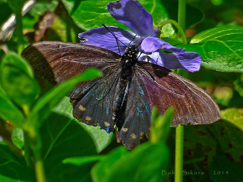 Pipevine Swallowtail, <em>Battus philenor</em> <em>Vinca major</em>, Periwinkle, Europe?  <em>Apocynaceae>/em> (Dogbane, Milkweed family). Devil's Gulch, Samuel Tayler State Park, Marin Co., CA, 2014/04/05
