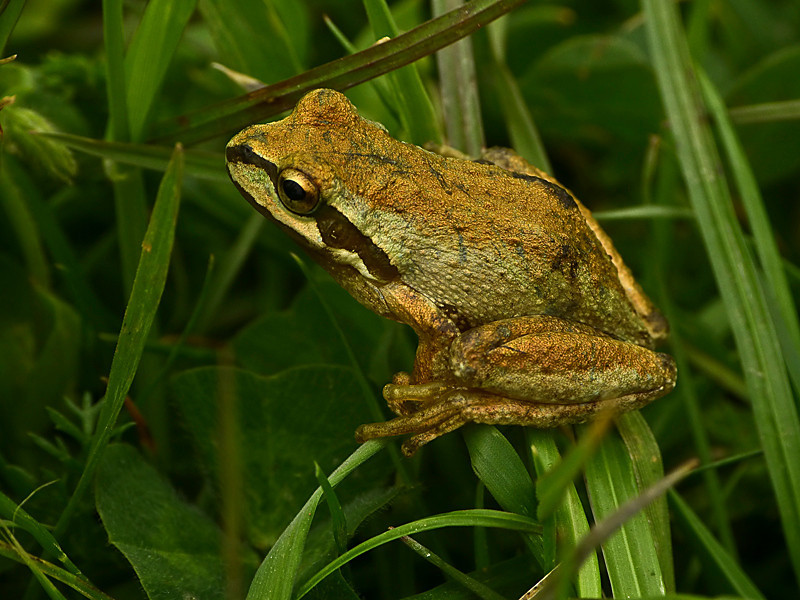 Pacific Tree Frog, <em>Hyla Regilla</em> Bull Point, Point Reyes National Seashore, Marin Co., CA  2012/04/22 &#9664 Iridaceae ----- Liliaceae &#9658