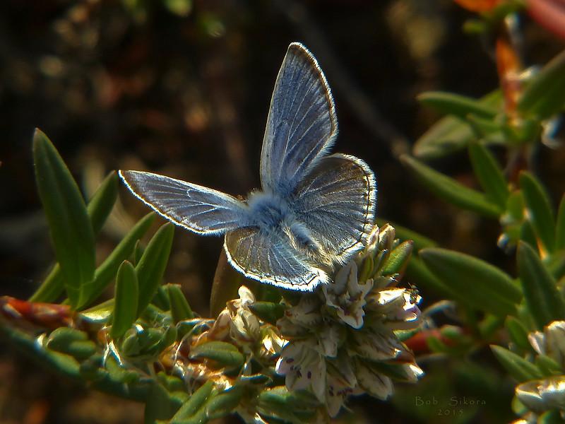 <em>Plebejus icarioides</em> ssp?, Boisduval's Blue <em>Polygonum paronychia</em>, Beach Knotweed Abbotts Lagoon, Point Reyes National Seashore, Marin Co., CA, 2015/05/10, jm2p1120