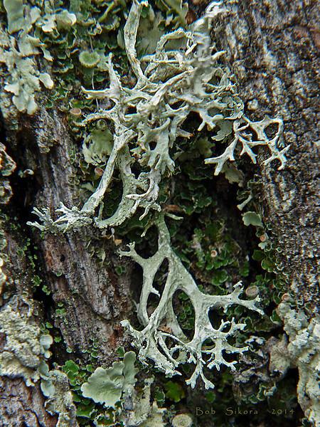 <em>Evernia prunastri</em>, Stag's Horn Lichen Olompali State Park, Marin Co., CA, 2014/02/15