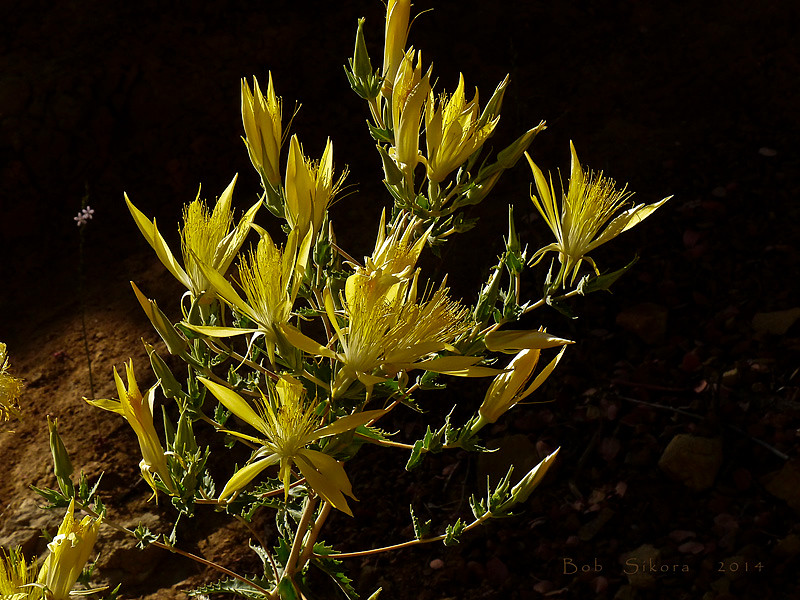 <em>Mentzelia laevicaulis</em>, Blazing Star, native.  <em>Loasaceae</em> (Blazing-star family). Los Padres National Forest, Ventura Co., CA,  2014/07/18, jm2p872