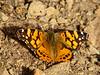 West Coast Lady, <em>Vanessa annabella</em>. Los Padres National Forest, Monterey Co, CA  3/28/10