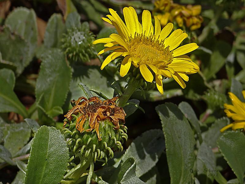 <em>Grindelia stricta var. platyphylla</em>, Dune Gumplant, native.  <em>Asteraceae</em> (= <em>Compositae</em>, Sunflower family). Abbotts Lagoon, Point Reyes National Seashore, Marin Co., CA, 2011/08/29, jm2p337
