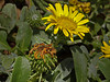 <em>Grindelia stricta var. platyphylla</em>, Dune Gumplant, native.  <em>Asteraceae</em> (= <em>Compositae</em>, Sunflower family). Abbotts Lagoon, Point Reyes National Seashore, Marin Co., CA, 2011/08/29, jm2p337