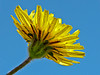 <em>Agoseris apargioides</em> var. <em>eastwoodiae</em>, Coast Dandelion, Eastwood Agoseris, native.  <em>Asteraceae</em> (= <em>Compositae</em>, Sunflower family). Keyhoe Beach, Point Reyes National Seashore, Marin Co., CA 12/21/2011 jm2p234