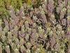 <em>Chloropyron maritimum ssp. maritimum</em>, Salt Marsh Bird's-beak, native.  <em>Orobanchaceae</em> (Broomrape family). Ocean Beach, San Diego, San Diego Co., CA, 2013/08/06, jm2p964