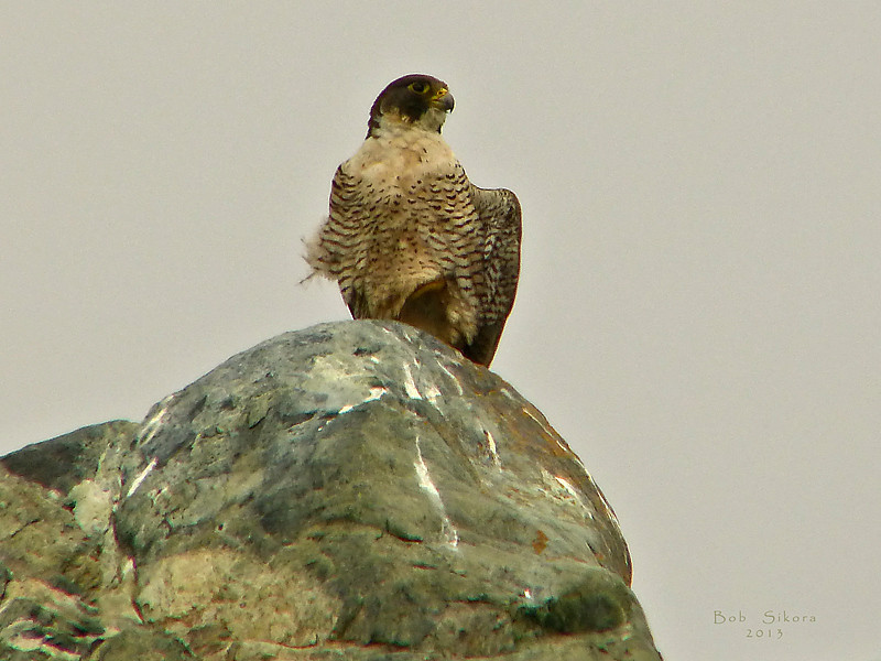 <em>Falco perigrinus,</em> Perigrine Falcon Willow Creek, Monterey Co., CA, 2013/08/03
