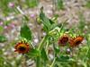 <em>Hulsea heterochroma</em>,  Red-rayed Hulsea, native.  <em>Asteraceae</em> (= <em>Compositae</em>, Sunflower family). Cone Peak Rd., Ventana NF, Monterey Co., CA 6/17/09  jm2p354
