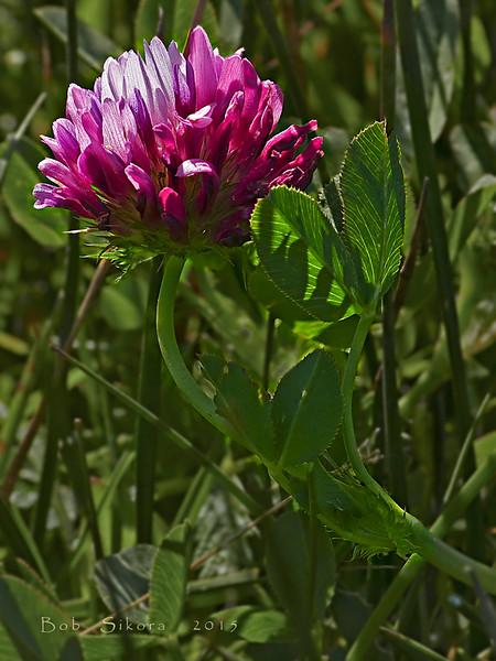 <em>Trifolium wormskioldii</em>, Cow Clover, native.  <em>Fabaceae</em> (=<em>Leguminosae</em>, Legume family). Bull Point, Point Reyes National Seashore, Marin Co., CA,  2014/04/16, jm2p798