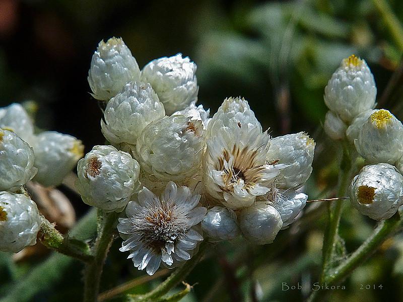 <em>Pseudognaphalium californicum</em>, Ladies' Tobacco, native.  <em>Asteraceae</em> (= <em>Compositae</em>, Sunflower family). Edgewood County Park, San Mateo Co., CA, 2014/06/01, jm2p406