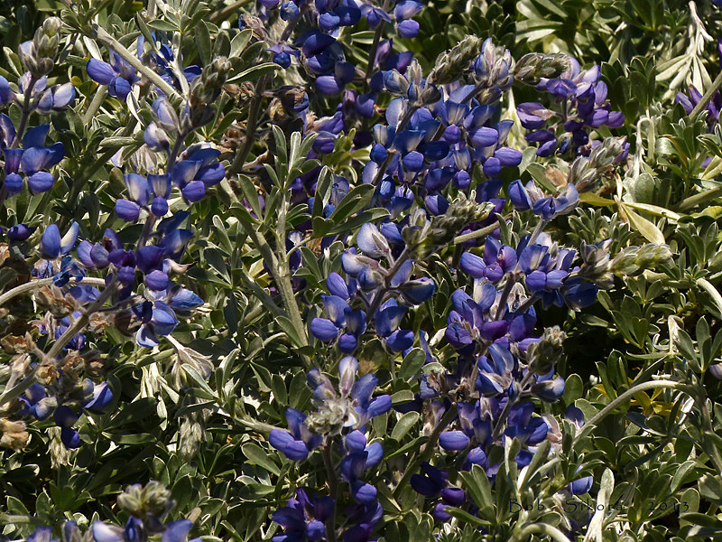 <em>Lupinus chamissonis</em>, Fragrant Dune Lupine, native.  <em>Fabaceae</em> (=<em>Leguminosae</em>, Legume family). Abbotts Lagoon, Point Reyes National Seashore, Marin Co., CA, 2013/04/17, jm2p770