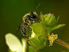 Andrenid bee, <em>Andrena</em> sp., on <em>Drymocallis (ex Potentilla) glandulosa ssp. glandulosa</em>, Sticky Cinquefoil, native.  <em>Rosaceae</em> (Rose family). Rodeo Valley Trail, Golden Gate National Recreation Area, Marin Co., CA 2012/04/16  jm2p1176