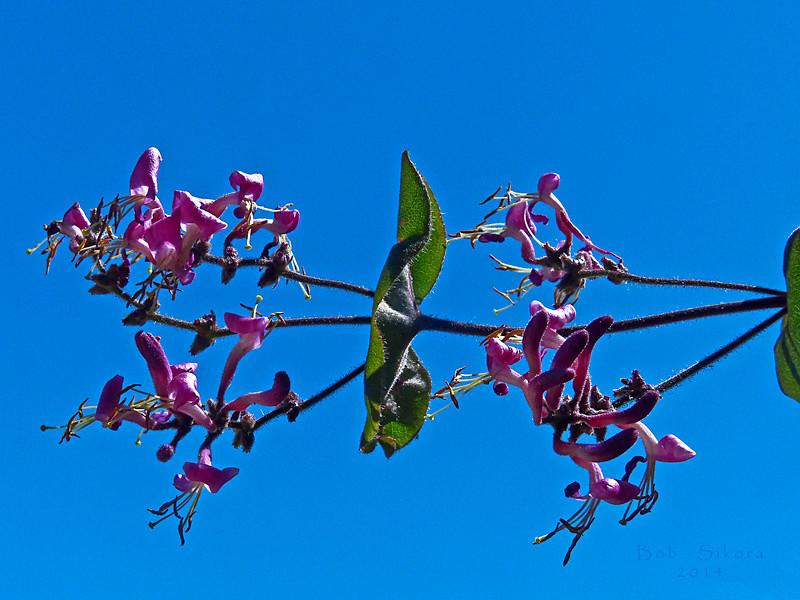 <em>Lonicera hispidula</em>, Pink Honeysuckle, native.  <em>Caprifoliaceae</em> (Honeysuckle family). Edgewood County Park, San Mateo Co., CA, 2014/06/01, jm2p601