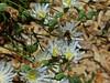 <em>Malacothrix saxatilis var. commutata</em>, Cliff Desertdandelion, South Coast Range Malacothrix, native.  <em>Asteraceae</em> (= <em>Compositae</em>, Sunflower family). Apis mellifera, Western Honeybee Los Padres National Forest, Ventura Co., CA,  2014/07/18, jm2p384