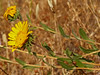<em>Grindelia camporum</em>, Gumplant, native.  <em>Asteraceae</em> (= <em>Compositae</em>, Sunflower family).  Edgewood County Park, San Mateo Co., CA, 2014/06/01, jm2p336