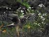 Northern Harrier, <em>Circus cyaneus</em> Pierce Point Ranch, Point Reyes National Seashore, Marin Co., CA