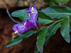 <em>Polygala californica</em>, California Milkwort, native.  <em>Polygalaceae</em> (Milkwort family). The Cedars, Sonoma Co., CA, 2014/04/27, jm2p1073