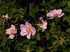 <em>Rosa californica</em>, California Wild Rose, native.  <em>Rosaceae</em> (Rose family). Bobcat Trail, Golden Gate National Recreation Area, Marin Co., CA, 2012/05/29, jm2p1200