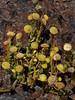 <em>Cotula coronopifolia</em>, Brass Buttons, S. Africa.  <em>Asteraceae</em> (= <em>Compositae</em>, Sunflower family). Millerton Point, Tomales Bay State Park, Marin Co., CA, 2013/06/22, jm2p292
