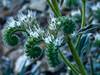 <em>Phacelia egena</em>, Intermediate Phacelia, native. <em>Boraginaceae</em> (Borage family), [ex <em>Hydrophyllaceae</em>]. Cone Peak Rd., Ventana NF, Monterey, CA  6/17/09 jm2p493