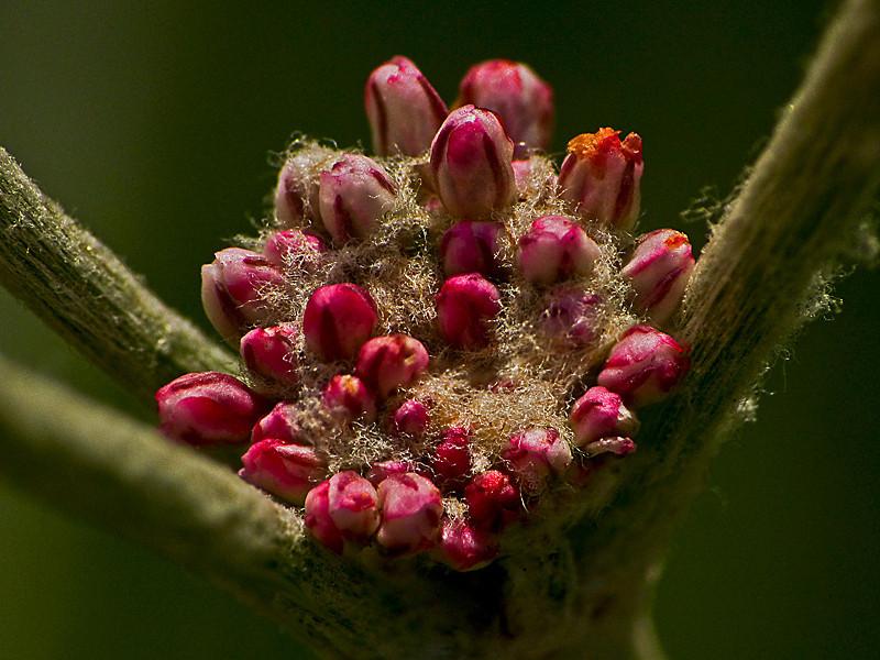 <em>Eriogonum latifolium</em>, Coast Buckwheat, native.  <em>Polygonaceae</em> (Buckwheat family). Kirby Cove, Golden Gate National Recreation Area, Marin Co., CA 2012/04/07 jm2p1100
